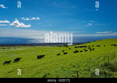 Hawaii Cowboy cattle grazing on the lush big island of Hawaii - Stock Photo