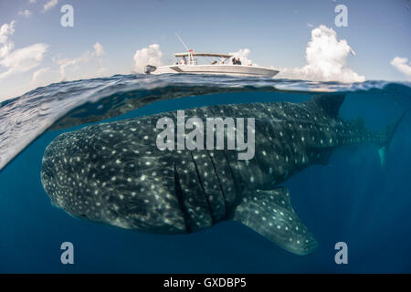 Large whale shark (Rhincodon typus) passing below boat at sea surface, Isla Mujeres, Mexico - Stock Photo