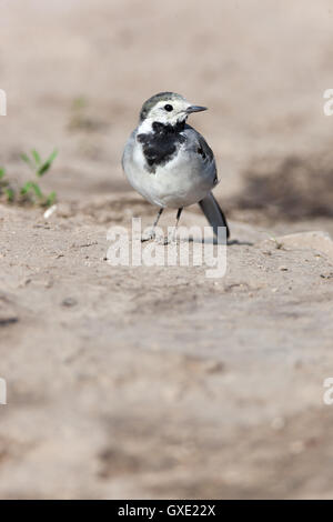 White Wagtail (Motacilla alba) in Nature. Russia. - Stock Photo