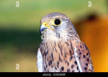 The common kestrel (Falco tinnunculus) is a bird of prey species belonging to the kestrel group of the falcon family - Stock Photo