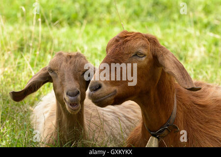 Goats graze in the green countryside in Sardinia. - Stock Photo