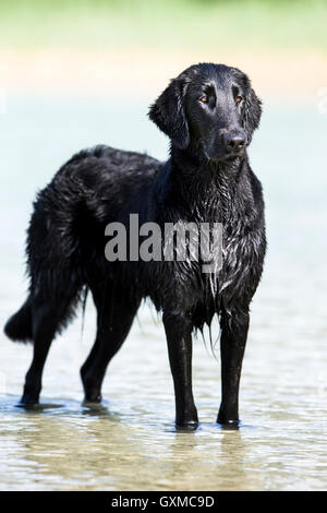 Flat-Coated Retriever, black, standing in water, Tyrol, Austria - Stock Photo