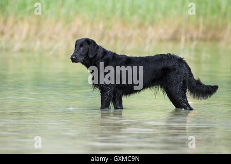 Flat-Coated Retriever, black, standing in water in front of reeds, Tyrol, Austria - Stock Photo