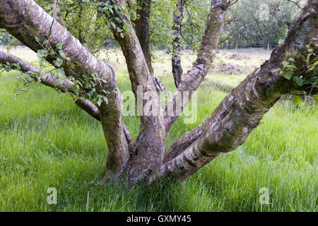 Characterful twisted birch trees grow on Stanton Moor, Derbyshire, UK - Stock Photo