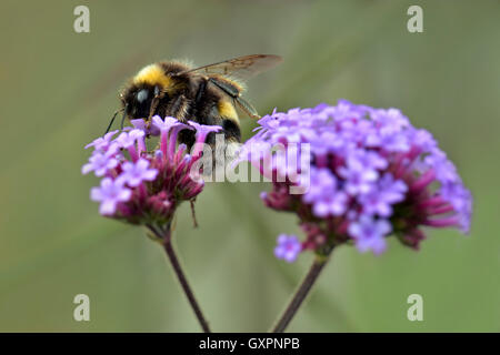 Bee on verbena flower - Stock Photo