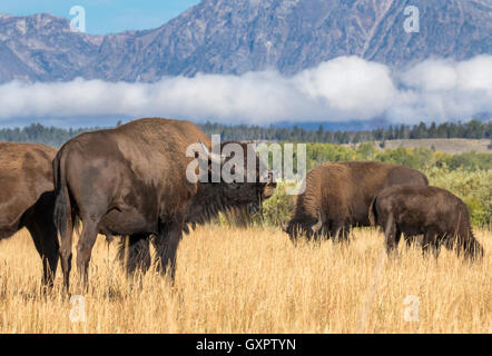 American bison (Bison bison) grazing in highland prairie, Grand Teton National Park, Wyoming, USA - Stock Photo