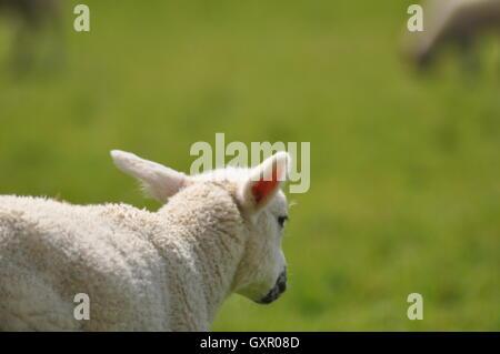 Lamb in sunshine - Stock Photo