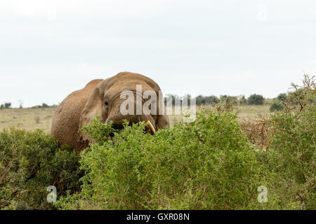 Hiding Behind The Trees - The African bush elephant is the larger of the two species of African elephant. Both it - Stock Photo