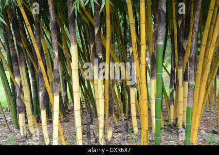 Thick Species Bamboo in Garden Clump - Stock Photo