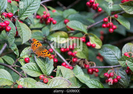 Polygonia c-album. Comma butterfly on Late cotoneaster shrub with red berries in an English garden - Stock Photo