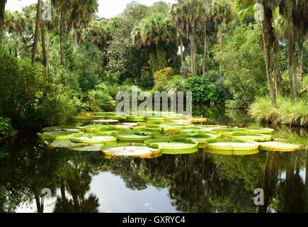 Giant water lily floating in a pond. - Stock Photo