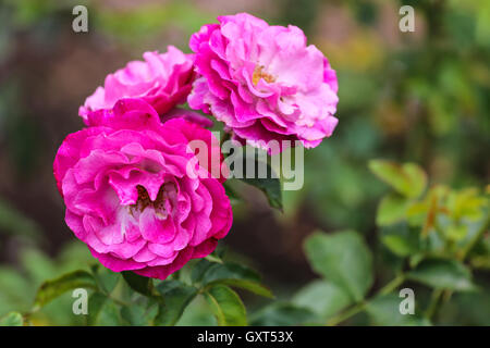 Three pink roses in a garden. - Stock Photo