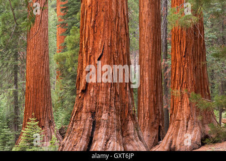 Bachelor and Three Graces Sequoia trees in Mariposa Grove, Yosemite National Park, USA. Spring (June) 2015. - Stock Photo