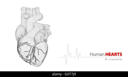 Anatomy of Human Heart on a white background - Stock Photo