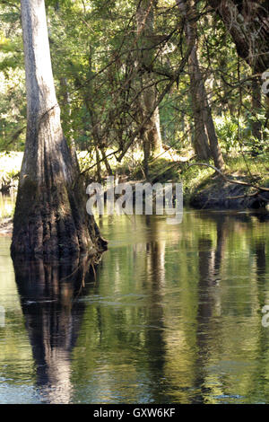 Cypress Tree in a Tropical River (3) - Stock Photo