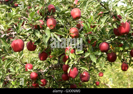 Red Delicious apples hanging from a tree in a commercial apple orchard are ready for picking. - Stock Photo