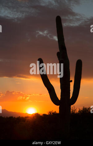 Saguaro cactus silhouette (Carnegiea gigantea) at sunset - Stock Photo