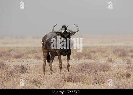 Blue Wildebeest, Connochaetes taurinus, single mammal, South Africa, August 2016 - Stock Photo