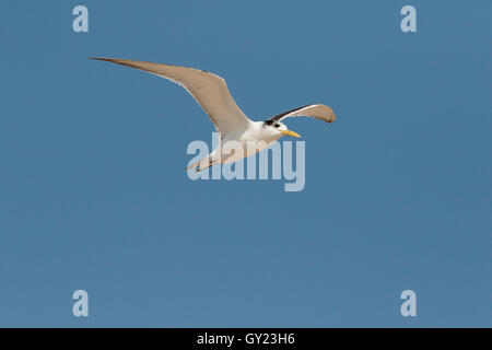 Greater-crested tern, Thalasseus bergii, single bird in flight, South Africa, August 2016 - Stock Photo