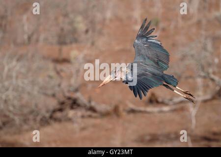 Marabou stork, Leptoptilos crumeniferus, single bird in flight, South Africa, August 2016 - Stock Photo