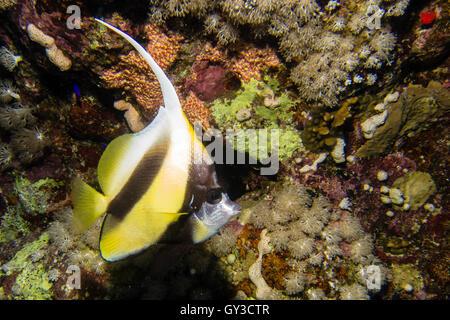 Longfin bannerfish in egypt - Stock Photo