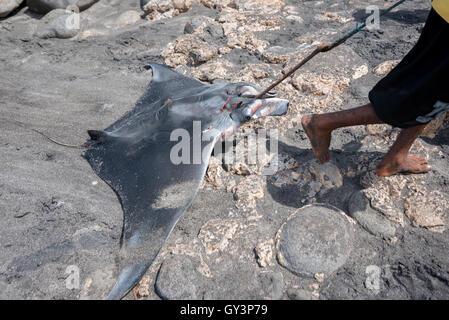 Fisherman hauls a ray fish on a rocky beach. - Stock Photo