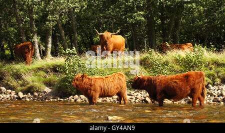 Highland Cattle cooling off on a hot August day in Glen Nevis in Lochaber. - Stock Photo