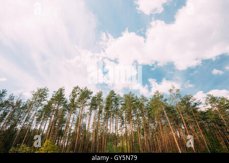 Young Densely Planted Pine Grove Copse Coppice Of Tall Thin Coniferous Evergreen Trees Under Picturesque Scenic - Stock Photo