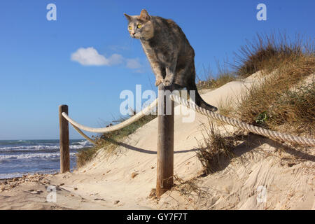 domestic cat, blue tortie, standing on a fence post on the beach in dunes at the sea, ocean - Stock Photo