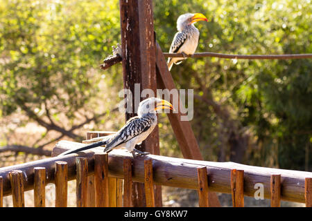 southern yellow-billed hornbill close up from Pilanesberg National Park, South Africa. Safari and wildlife. Birdwatching.Tockus - Stock Photo