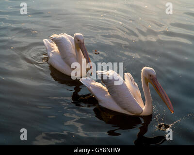 Pelicans in St James Park, London at dusk - Stock Photo