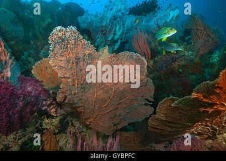 Sweetlips fish feeding in colorful coral reef. - Stock Photo