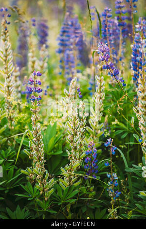 Mix Of Blooming And Overblown Wild Flowers Lupine With Seed Pods In Summer Meadow Field In Spring Summer. Lupinus, - Stock Photo