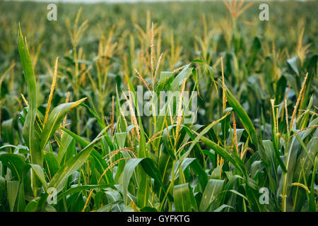 Close View Of Growing Up Young Stalk's Tops Of Corn Maize Plant On The Agricultural Field In Spring Summer - Stock Photo