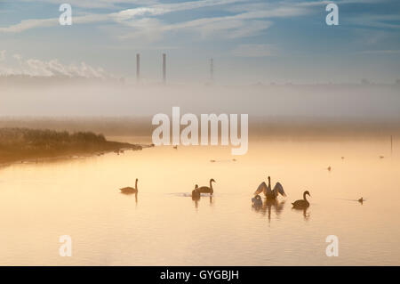 A family of mute swans (Cygnus olor) adults and cygnets, on a misty dawn with the chimneys of Ferrybridge power - Stock Photo