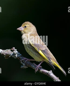 Greenfinch (Carduelis chloris) perching on a branch with dark background - Stock Photo