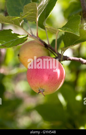 Malus domestica 'Winter King'. Apples on a tree in an English orchard. - Stock Photo