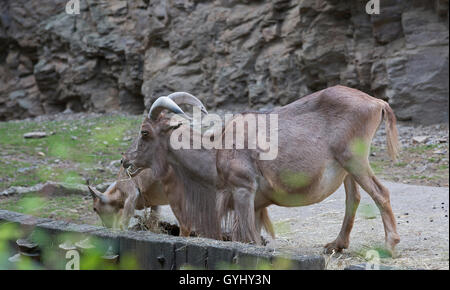 Mountain Goats in Prague Zoo Czech Republic which is the fourth largest in the World - Stock Photo