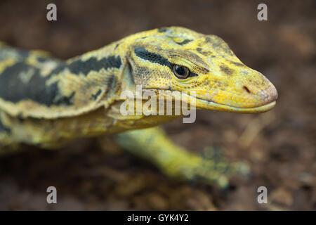 Yellow-headed water monitor (Varanus cumingi), also known as the Cuming's water monitor. Wildlife animal. - Stock Photo