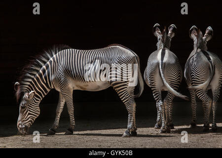 Grevy's zebra (Equus grevyi), also known as the imperial zebra at Augsburg Zoo in Bavaria, Germany. - Stock Photo
