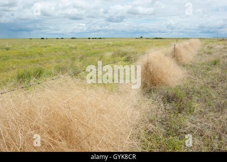 Green field with grass caught in barbed wire fence in outback - Stock Photo