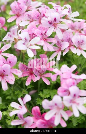 Pelargonium 'Prince of Orange' pink geranium flowers - Stock Photo