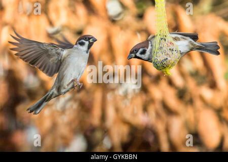 Feldsperling, Feldspatz (Passer montanus), streiten um einen Meisenknoedel, Deutschland, Bayern, Niederbayern | - Stock Photo