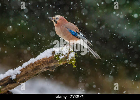 jay (Garrulus glandarius), sitting at snowfall on an old branch, side view, Switzerland, Sankt Gallen - Stock Photo