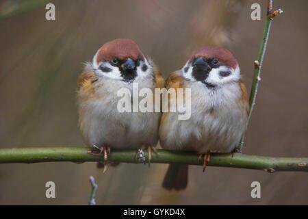 Feldsperling, Feldspatz (Passer montanus), zwei aufgeplusterte Spatzen sitzen zusammen auf einem Ast, Vorderansicht, - Stock Photo