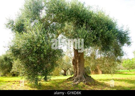 Kultur-Oelbaum, Kultur-Olivenbaum, Oelbaum, Olivenbaum (Olea europaea ssp. sativa), alter Olivenbaum in der Toskana - Stock Photo