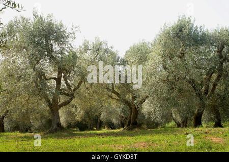 Kultur-Oelbaum, Kultur-Olivenbaum, Oelbaum, Olivenbaum (Olea europaea ssp. sativa), alte Olivenbaeume in der Toskana, - Stock Photo