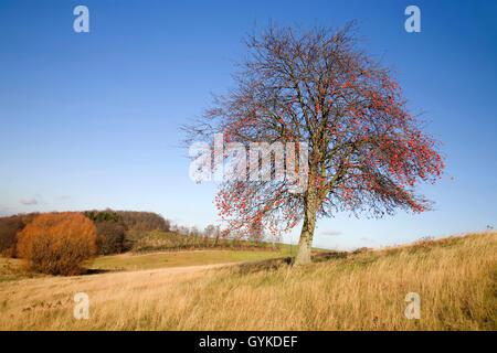 Gewoehnliche Eberesche, Gemeine Eberesche, Vogelbeere (Sorbus aucuparia), fruchtend, Deutschland, Sachsen | European - Stock Photo