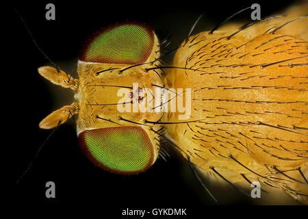 Fliegen (Brachycera (Diptera)), Makroaufnahme einer Fliege mit gruenen Augen | true flies (Brachycera (Diptera)), - Stock Photo