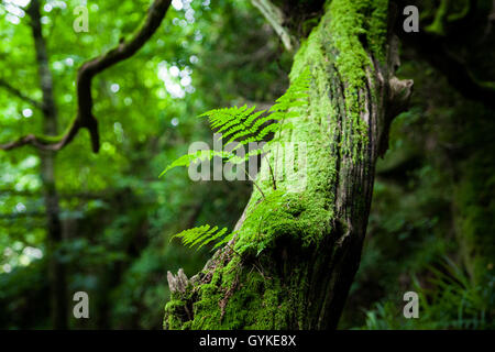 Bright green fern in an ancient English woodland - Stock Photo